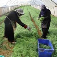 انتاج اعشاب طبية بمواصفات عالية الجودة تتوافق مع معايير الاسواق الاوروبية
