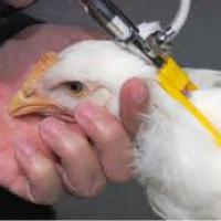 ادوية لزيادة وزن الدجاج والتغلب علي الامراض بأبسط الطرق