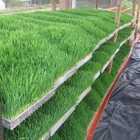 استنبات الشعير وتسمين عجول وتربية الاغنام
