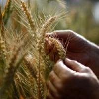 مزرعة-القمح-ومصنع-الدقيق Picture
