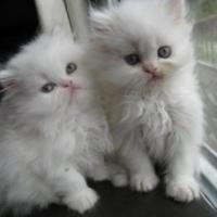 تربية-وبيع-قطط-الزينة-والدرة Picture