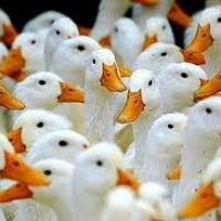 تربية-البط-المسكوفى Picture