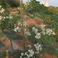 مزرعة-مورينجا Picture