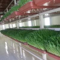 العلف-الأخضر-green-fodder Picture