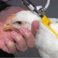 ادوية-لزيادة-وزن-الدجاج-والتغلب- Picture