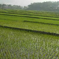 استثمار-مشروع-زراعة-100-فدان-ارز Picture