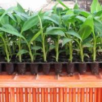 مزرعة-لانتاج-الموز Picture