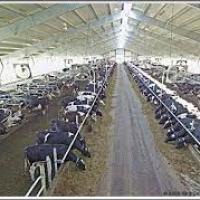 مزرعة-لانتاج-الالبان-وتسمين-العج Picture