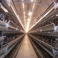 تربية الدجاج من اجل البيض Project Picture