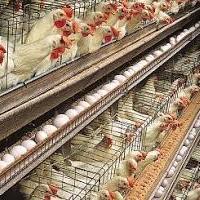 انشاء مزرعه لإنتاج بيض مائده Project Picture