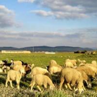 تربية الماشية Project Picture