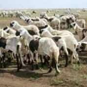 إنشاء شركة مختصة بتصدير الضان إلي عمان من السودان Project Picture