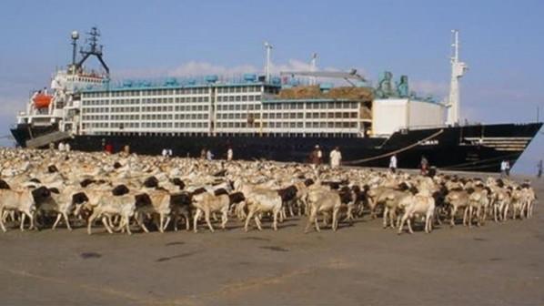 شركة لتصدير الضان الحي والمذبوح  إلي عمان من السودان Cover Image